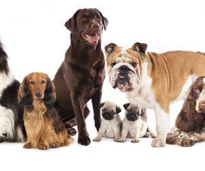 Toužíte si pořídit pejska? Rozhodnutí o tom, jakého psa si vybrat, bývá často složitější, než se na první pohled zdá. Není totiž plemeno jako plemeno.