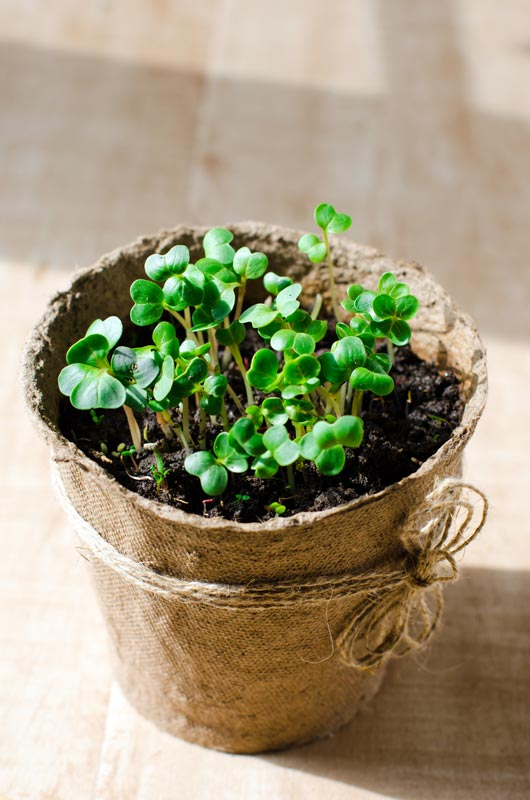 Potočnice lékařská (lat. Nasturtium officinale), které se říká také řeřicha potoční nebo řeřišnice bílá. Jelikož jde o chráněnou bylinu, vypěstujte si ji doma.