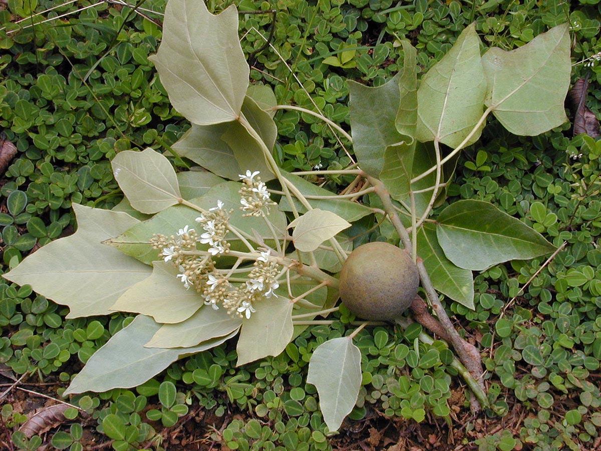 Vzácný kendi olej používaný ve vlasové kosmetice Alterna se získává z ořechů stromu aleurites moluccana.
