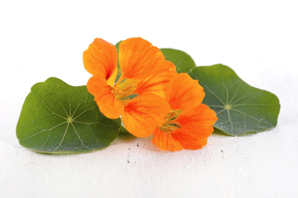 Lichořeřišnice – tato mimochodem velice chutná jedlá rostlina umí výrazně zlepšit kvalitu naší vlasové pokožky.