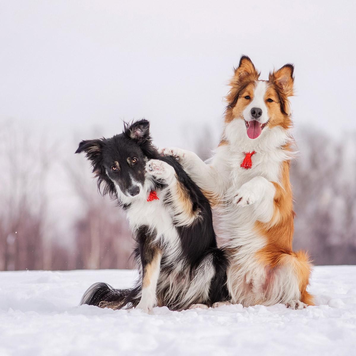 Původem pastevecký pes, border kolie, dominuje řebříčku nejinteligentnějších psích plemen.