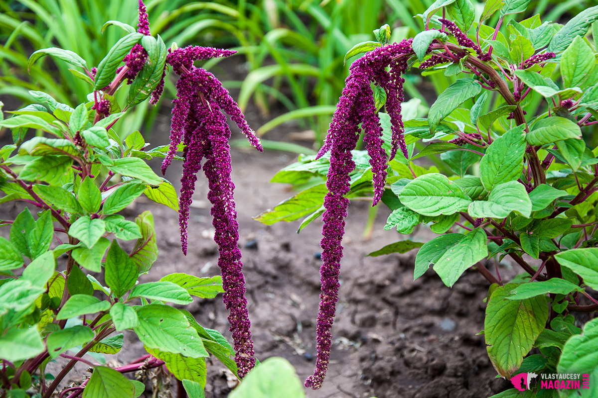 Amarantová šťáva ze zelených částí rostliny má mnoho výhod nejen pro tělo, kůži, ale i pro vlasy. Pomáhá předcházet padání vlasů a léčí lámavé vlasy. Amarantové listy, ale i olej z amarantu, také inhibují předčasnému šedivění vlasů.